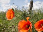WWI poppies